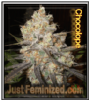 Chocolope Just Feminized Mix & Match Seeds